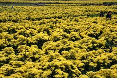 ANHUI PROVINCE, CHINA – CIRCA OCTOBER 2017: The pickers of yellow chrysanthemum flowers. Chrysanthemum field in Anhui province in China royalty free stock photography