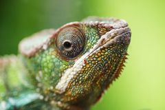 anhydrous Barnet gör grön kameleonten Kameleontnärbildstående arkivfoton
