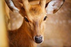anhydrous Closeup av Sika hjortar som in camera ser lopp asia royaltyfri bild