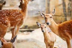 anhydrous Sika hjortfamilj i zoo Thailand Asien Lopp Touris arkivbild