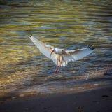 Anielski ibis w ranku świetle zdjęcie stock