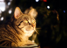 Anielski Tabby kot przed bożonarodzeniowe światła Obrazy Stock