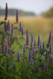 Anijsplant hyssop royalty-vrije stock foto