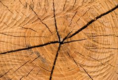 Anillo anual del árbol de langosta. Imagen de archivo libre de regalías