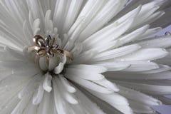 Anillo de bodas en el aster blanco Foto de archivo