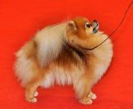 Anillo del perro del perro de Pomerania Imagen de archivo libre de regalías