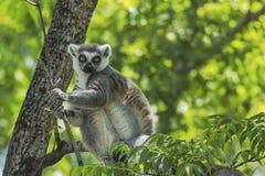Anillo - lémur atado Foto de archivo libre de regalías