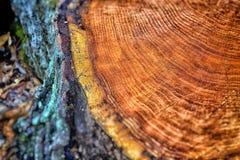 Anillos de árbol anaranjado Imagenes de archivo
