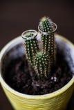Anillos de bodas en el cactus fotos de archivo