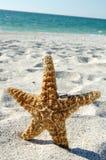 Anillos de bodas en estrellas de mar Foto de archivo libre de regalías