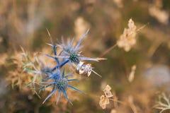 Anillos de bodas en las flores del acebo de mar Fotos de archivo libres de regalías