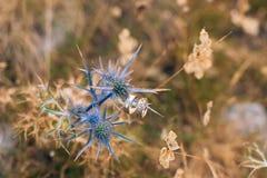 Anillos de bodas en las flores del acebo de mar Foto de archivo