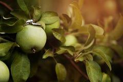 Anillos de compromiso en dos manzanas verdes imágenes de archivo libres de regalías