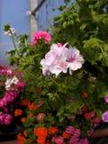 Anillos de los Pelargonium Foto de archivo libre de regalías
