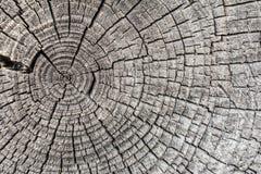 Anillos de madera texturizados madera áspera El gris cortó la rebanada de un árbol, mostrando edad y años Foto de archivo libre de regalías