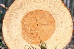 Anillos o registro de árbol de madera de pino Al aire libre primer imagen de archivo