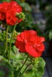 Anillos rojos del Pelargonium Fotografía de archivo
