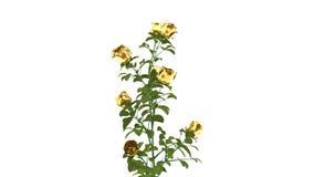 Animação dourada das rosas 3d do ouro video estoque