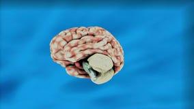 Animación del cerebro con las estructuras complejas del cerebro stock de ilustración