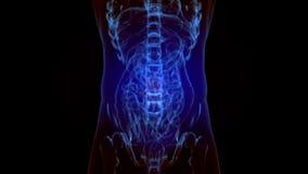 Animación esquelética de la radiografía de un dolor más de espalda de la espina dorsal ilustración del vector