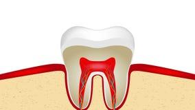 animación video de la pulsación del esmalte de diente sensible libre illustration