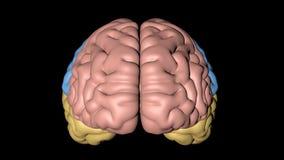 Animacja główne części ludzki mózg reprezentujący dla colours ilustracja wektor