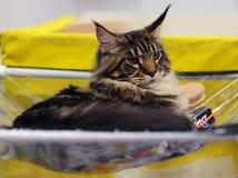 Animais bonitos na mostra do gato fotografia de stock