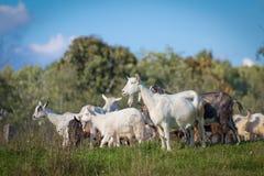 Animais da cabra Fotos de Stock Royalty Free
