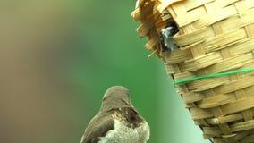 Animais de estimação exóticos da casa, família dos pássaros comuns do chiffchaff que sentam-se no ninho da cesta video estoque