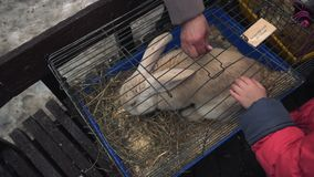 Animais de estimação de uma criança o coelho gigante flamengo em uma gaiola em um jardim zoológico do contsct durante a feira da  filme