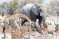 Animais de Etosha Imagem de Stock