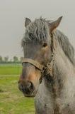 Animais de exploração agrícola - cavalo de esboço holandês Fotografia de Stock Royalty Free