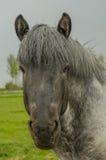Animais de exploração agrícola - cavalo de esboço holandês Imagens de Stock