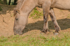 Animais de exploração agrícola - cavalo de Konik Fotografia de Stock