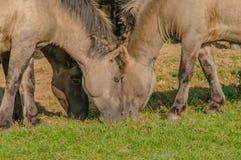 Animais de exploração agrícola - cavalo de Konik Fotografia de Stock Royalty Free