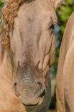 Animais de exploração agrícola - cavalo de Konik Imagem de Stock Royalty Free
