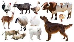 Animais de exploração agrícola Isolado sobre o fundo branco Imagem de Stock