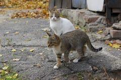 Animais dispersos, conceito dos animais de estimação Branco e gatos de gato malhado fotografia de stock royalty free