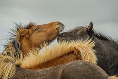Animais do companheiro - cavalos imagem de stock royalty free