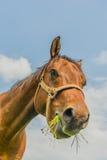 Animais do companheiro - cavalos imagens de stock