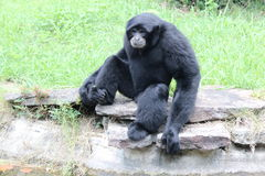 Animais do jardim zoológico de Little Rock - Siamang 2 imagens de stock royalty free