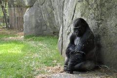Animais do jardim zoológico. Gorila Imagens de Stock
