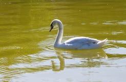 animais do pássaro da cisne foto de stock
