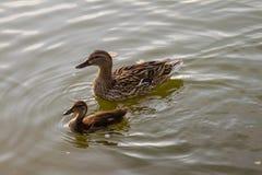 animais do pássaro do pato fotos de stock royalty free