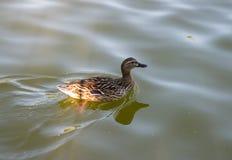 animais do pássaro do pato imagens de stock royalty free