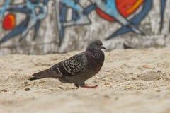 animais do pombo do pássaro imagens de stock