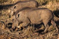 Animais dos animais selvagens de Warthogs Foto de Stock