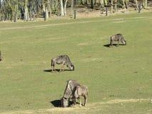 Animais dos antílopes Animais selvagens no safari imagem de stock