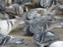 Animais dos pombos de p?ssaros de Aves da classe fotos de stock