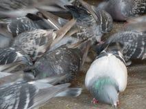 Animais dos pombos de p?ssaros de Aves da classe imagem de stock